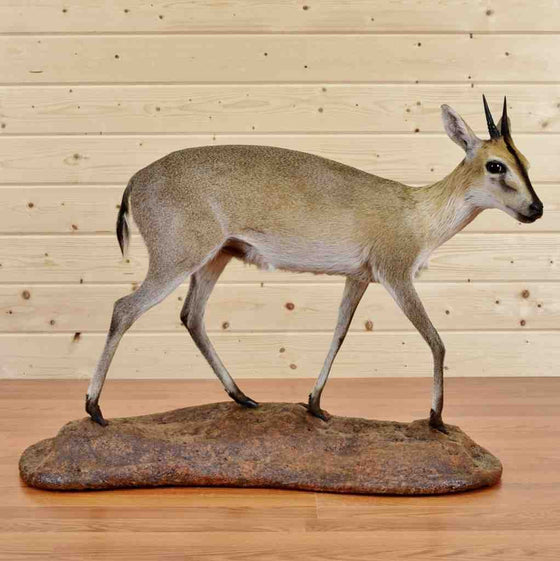 Duiker Taxidermy Mount for Sale