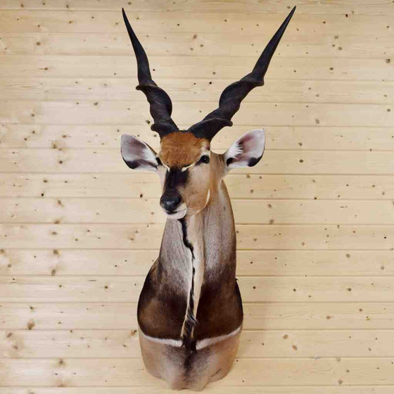 Lord Derby Eland Taxidermy Mount for Sale
