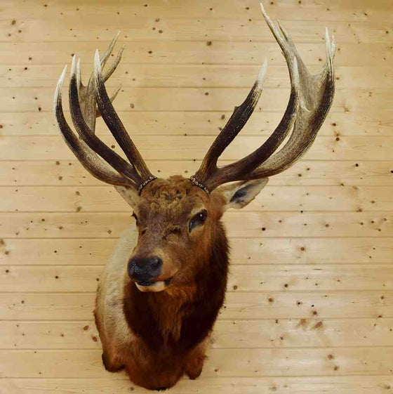 Elk Taxidermy for Sale