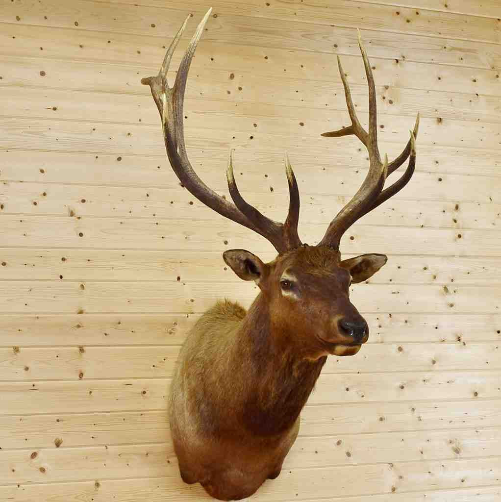 6 X 7 Elk Taxidermy Mount Sw4391 For Sale At Safariworks