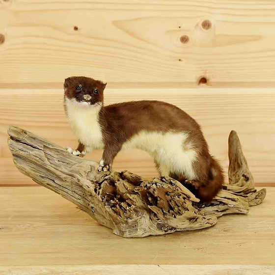 Ermine Taxidermy Mounts for Sale