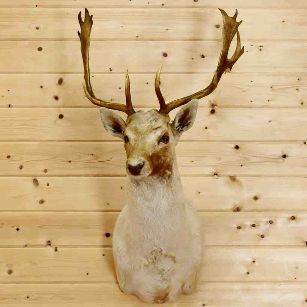 Fallow Deer Taxidermy Mount - SW4738 at Safariworks Taxidermy Sales