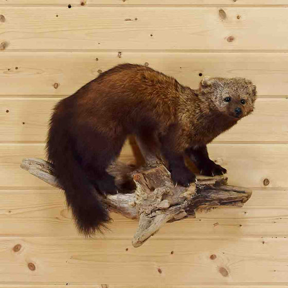 Fisher Taxidermy Trophy for Sale