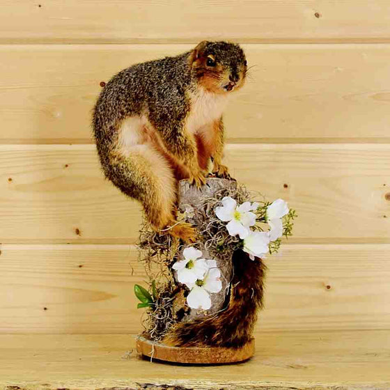 Fox Squirrel Taxidermy Mount for Sale