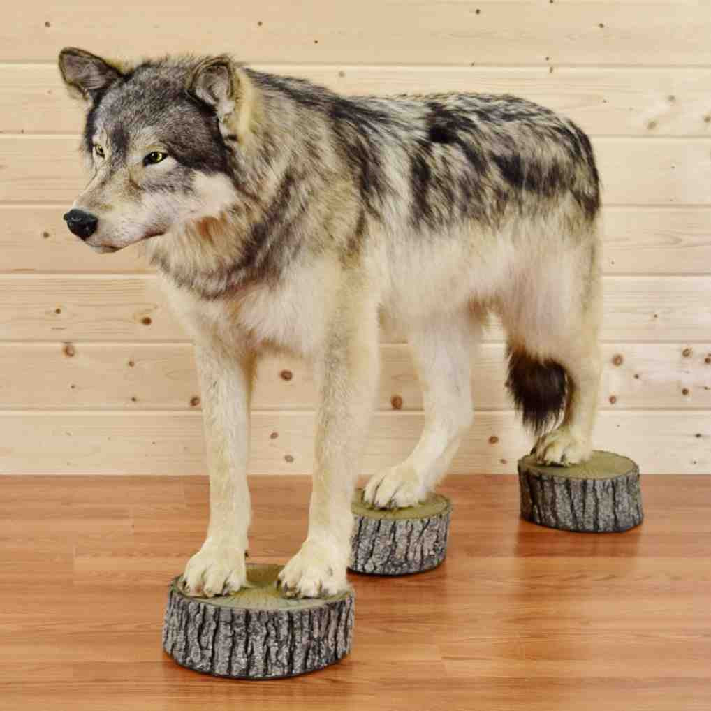 Gray Wolf Taxidermy Mount At Safariworks Taxidermy Sales