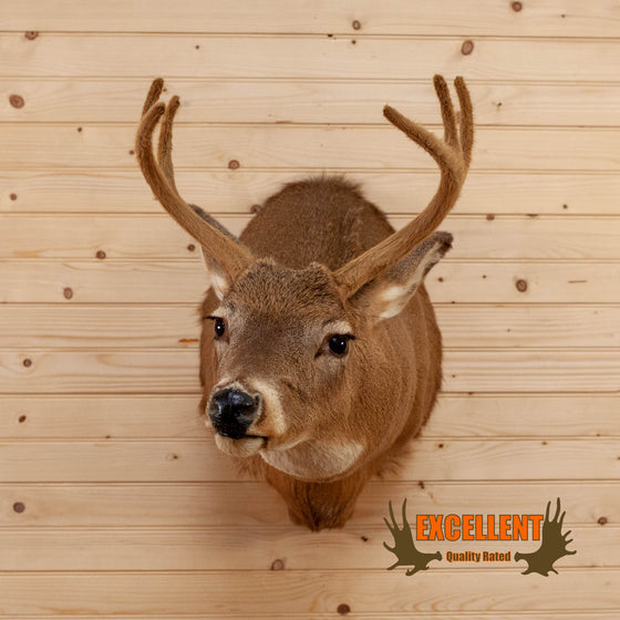 whitetail deer buck in velvet taxidermy shoulder mount for sale