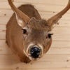 Excellent 6 Point Whitetail Buck Deer in Velvet Taxidermy Shoulder Mount GB4044