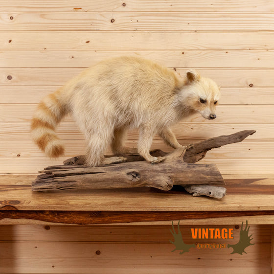 blonde golden raccoon full body lifesize taxidermy mount for sale