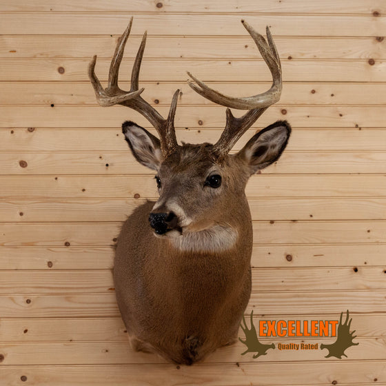 whitetail deer buck taxidermy shoulder mount for sale