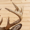 Excellent 12 Point Whitetail Buck Deer Taxidermy Shoulder Mount GB4046