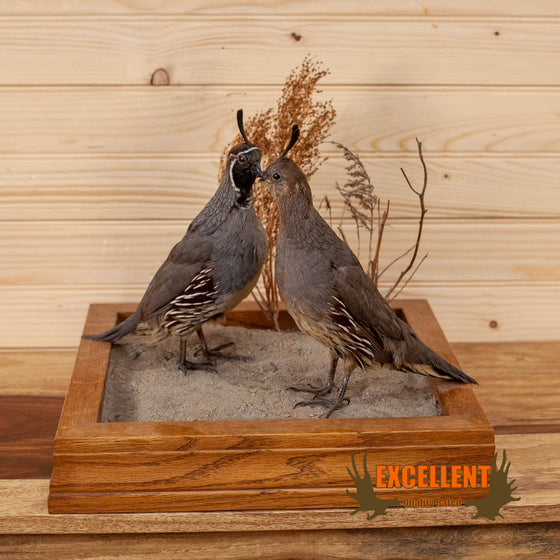Excellent Perched Gambel's Quail Pair Taxidermy Mount GB4056
