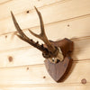 Roe Deer Antler Skull European Mount GB4064