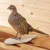 Excellent Perched Ringneck Hen Pheasant Taxidermy Mount GB4066