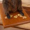 Excellent Groundhog Woodchuck Taxidermy Mount GB4074