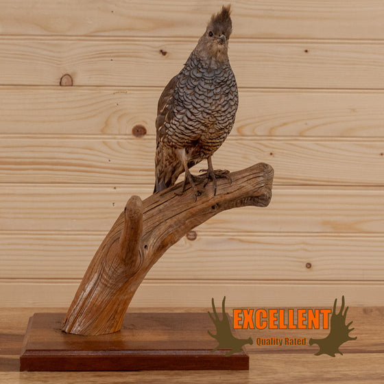 perched scaled quail taxidermy mount for sale safariworks decor