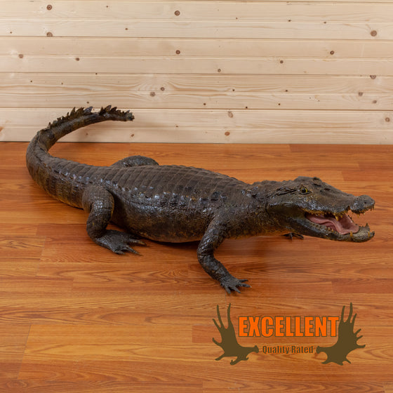 excellent full-body lifesize alligator taxidermy mount for sale