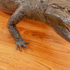 Excellent Real Skin Full-body Lifesize Alligator Taxidermy Mount GB5010