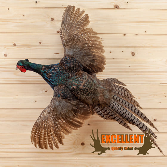 excellent blue green mutuant pheasant in flight taxidermy mount for sale