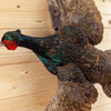Excellent Flying Blue Green Mutant Pheasant Taxidermy Mount GB5011