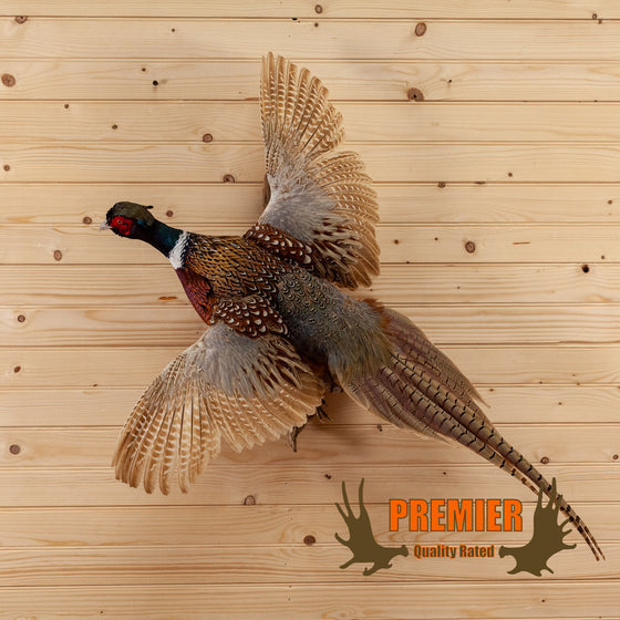 premier ringneck pheasant flying taxidermy mount for sale