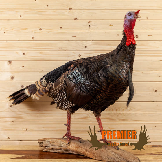 excellent walking eastern tom turkey taxidermy mount for sale