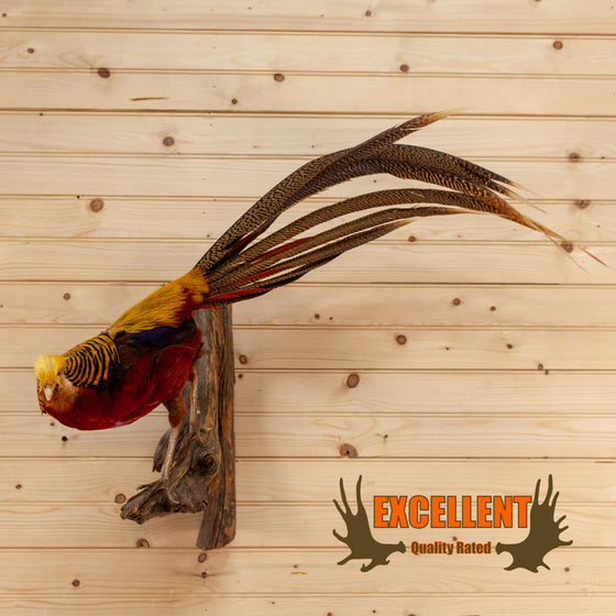 excellent red gold perched pheasant taxidermy mount for sale