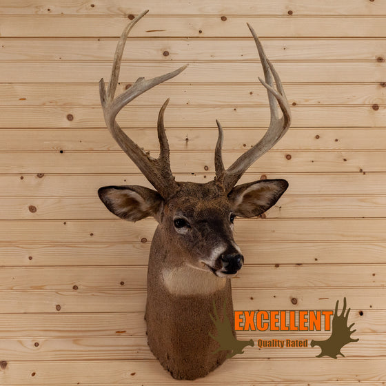 excellent whitetail buck deer neck taxidermy mount for sale
