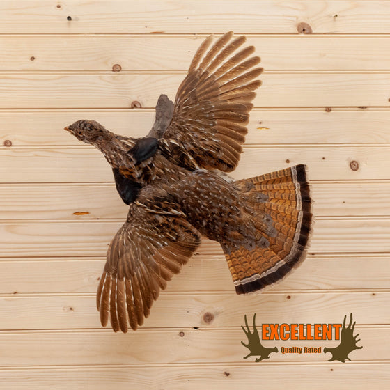 ruffed grouse in flight flying taxidermy mount for sale