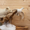 Premier Arctic Fox Chasing a Ptarmigan Taxidermy Mount GB5020