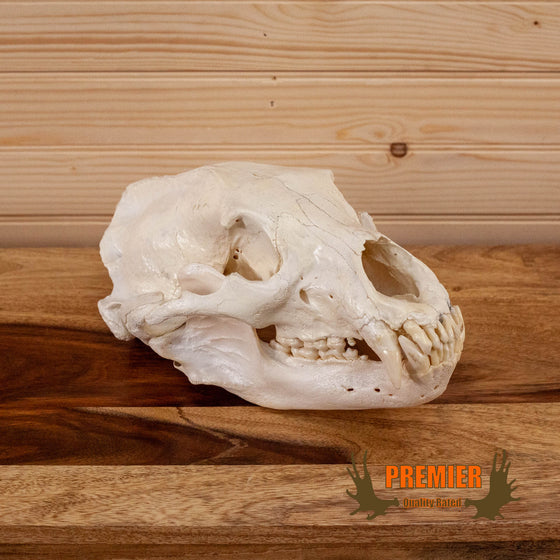 black bear skull for sale