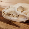 Premier Black Bear Skull GB5021