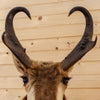 Premier Pronghorn Antelope Taxidermy Shoulder Mount GB5022