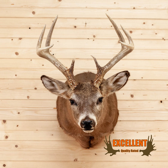 8 point whitetail buck taxidermy shoulder mount for sale