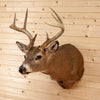Excellent 8 Point Whitetail Buck Deer Taxidermy Shoulder Mount GB5035