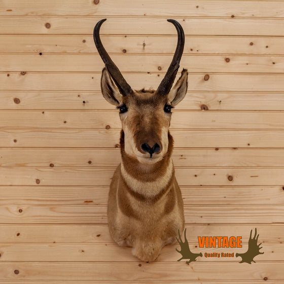 pronghorn antelope taxidermy shoulder mount for sale