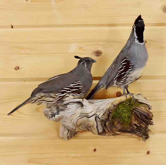 Gambel's Quail Pair Taxidermy Mount for Sale