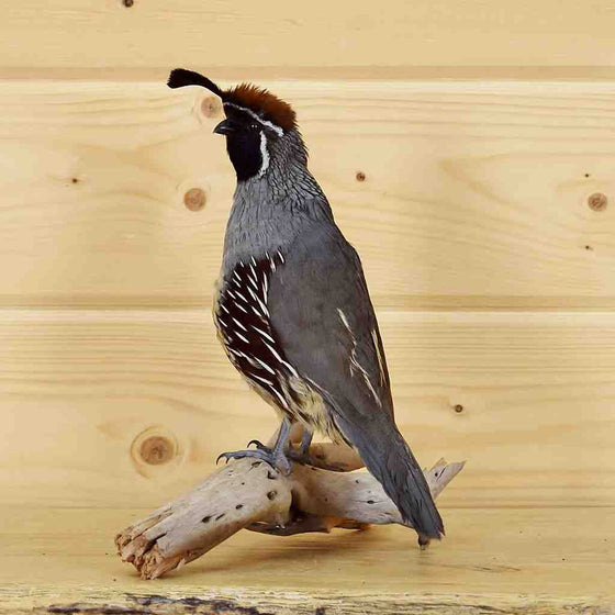 Game Bird Taxidermy Mounts for Sale