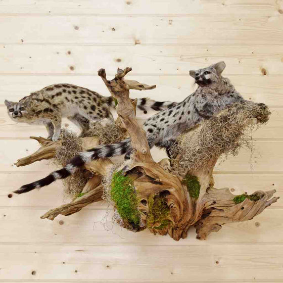 African Genet Cats Taxidermy Mount