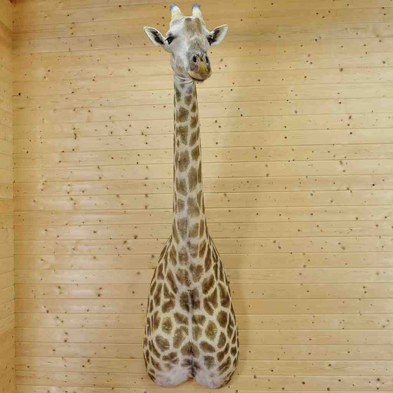 Giraffe Taxidermy Mount for Sale