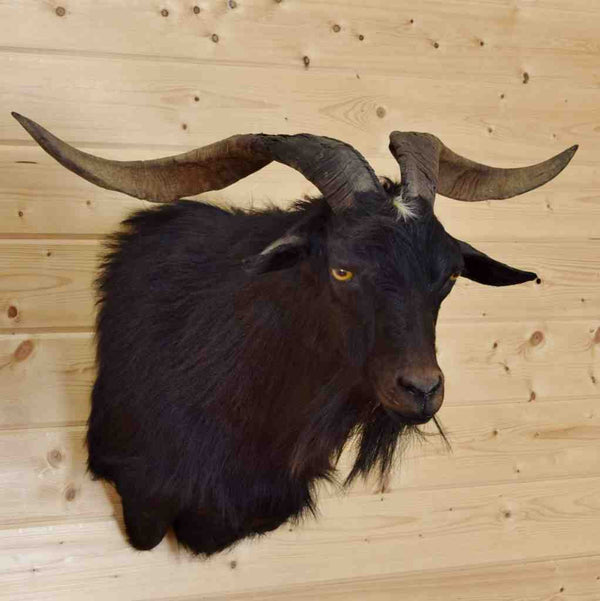 Spanish Goat Taxidermy Mount Sw4285 For Safariworks Animal