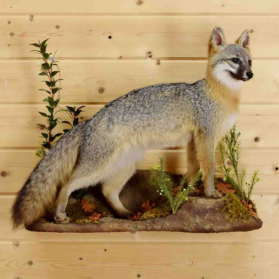Gray Fox Taxidermy for Sale