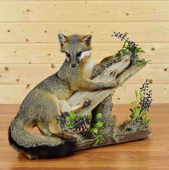 Gray Fox Mount for Sale