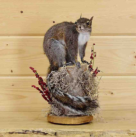 Gray Squirrel Taxidermy Mount