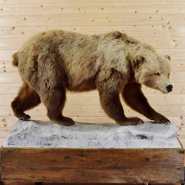 Grizzly Bear Walking Taxidermy Mount Sw4278 For Sale At
