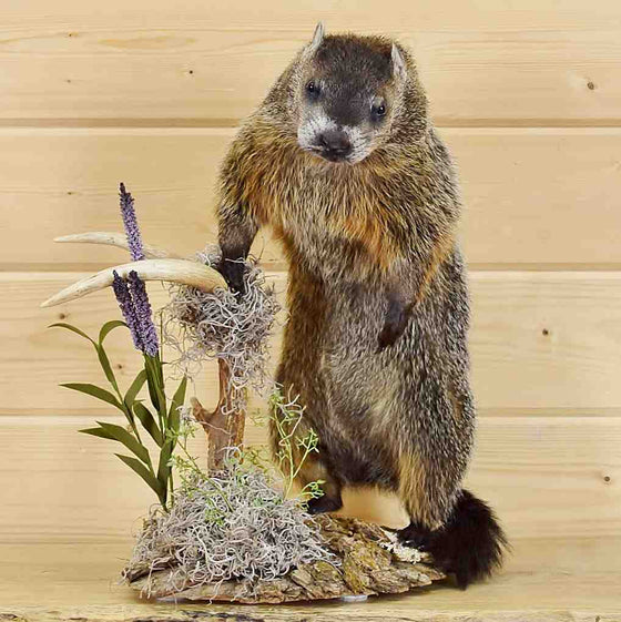 Woodchuck Taxidermy Mount