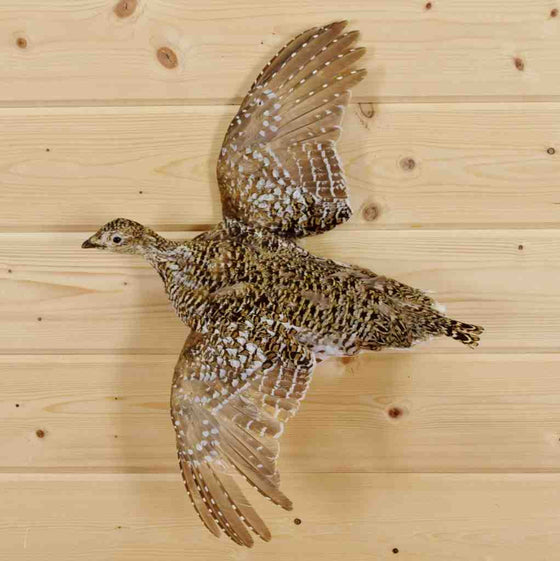 Sharptail Grouse Taxidermy Mount