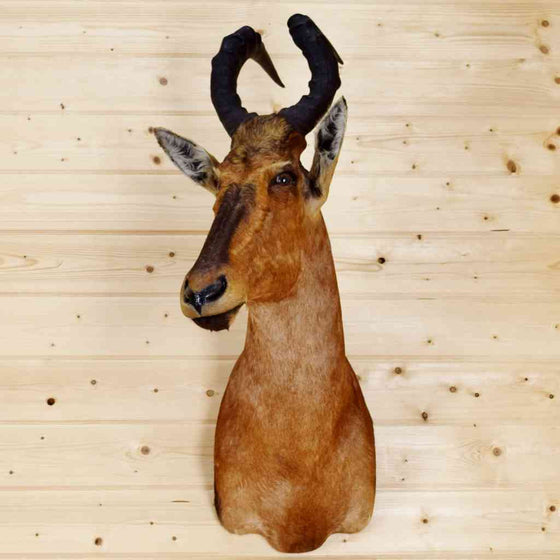 African Hartebeest Taxidermy Mount