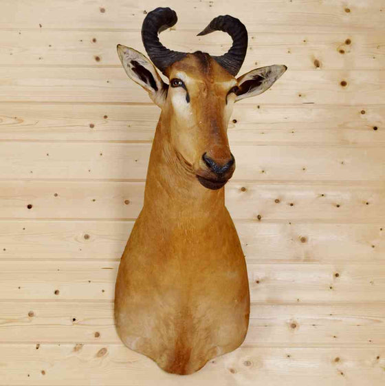 Liechtenstein Hartebeest Taxidermy Mount