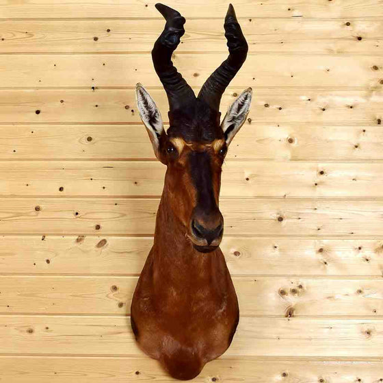 Hartebeest Taxidermy for Sale
