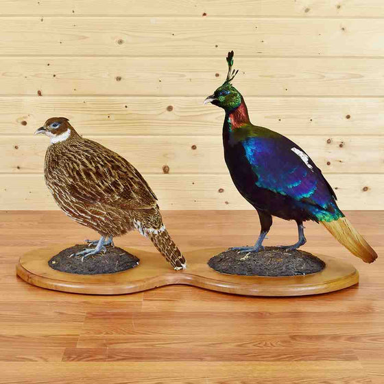 Himalayan Monal Pair for Sale